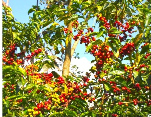 Coffee beans plant